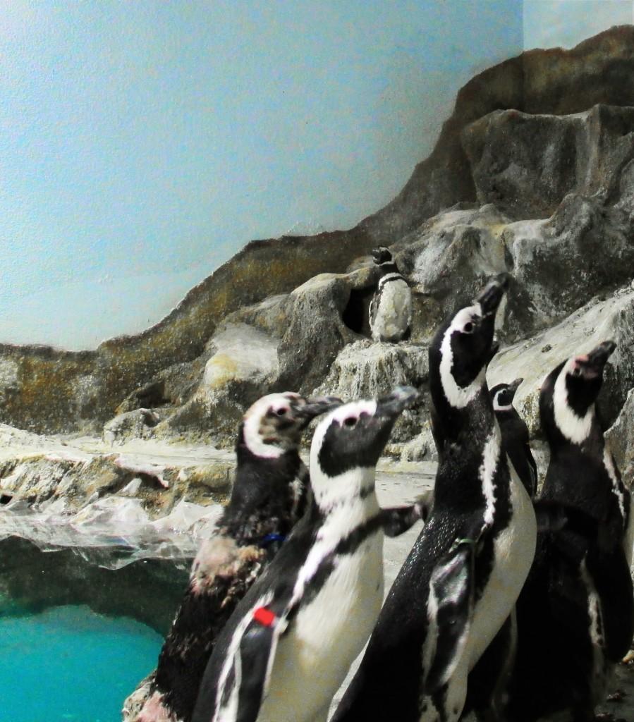 Os turistas que visitarem o Aquário de Paranaguá nos próximos dias poderão conhecer a mais nova atração do local: um casal de pinguins-de-magalhães. Os novos moradores, que vieram do Aquário do Guarujá, no Litoral de São Paulo, prometem atrair visitantes de todas as regiões do Estado.  Paranaguá, 20/01/2016. Foto: Divulgação